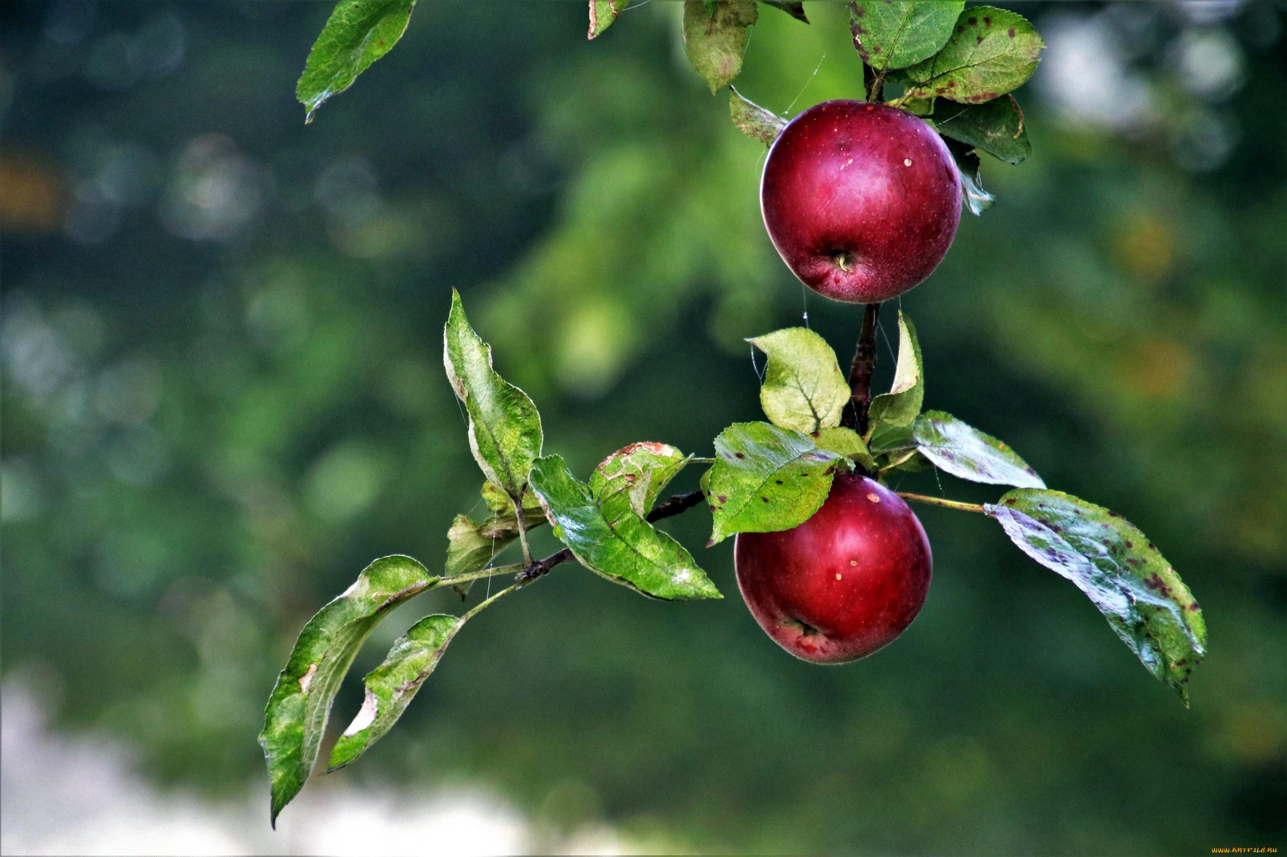 картинки яблоки в цвету и с плодами